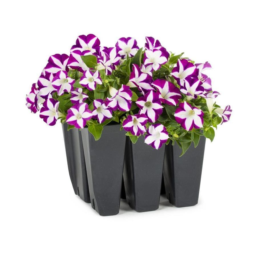 6-Pack Petunia (L17355)