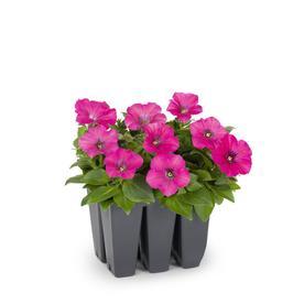 6-Pack Multicolor Petunia in Tray (L17355)