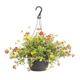 1.5-Gallon Multicolor Purslane in Hanging Basket (L6427)
