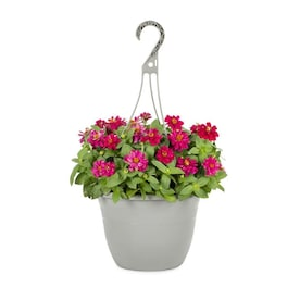 1.5-Gallon Multicolor Zinnia in Hanging Basket (L6859)