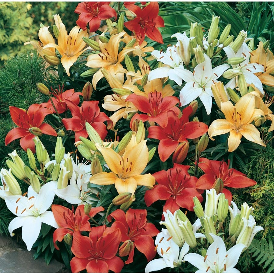 1.75-Gallon Container Asiatic Lily (Lw01857)