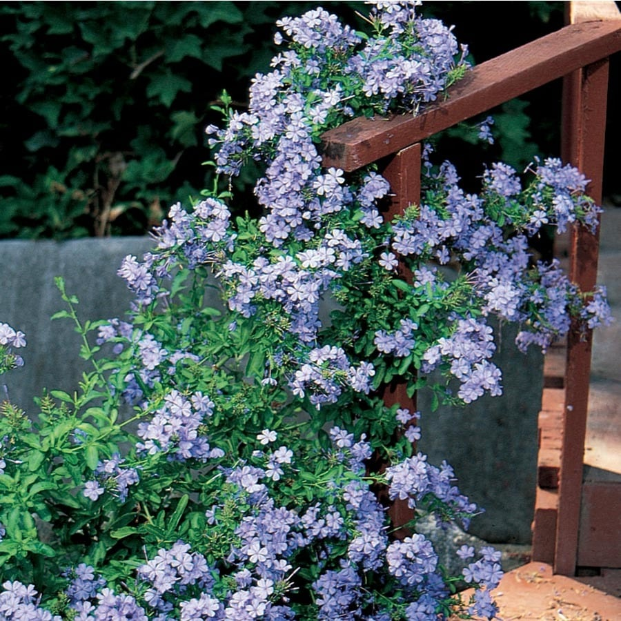 1.5-Gallon Blue Plumbago (L3623)