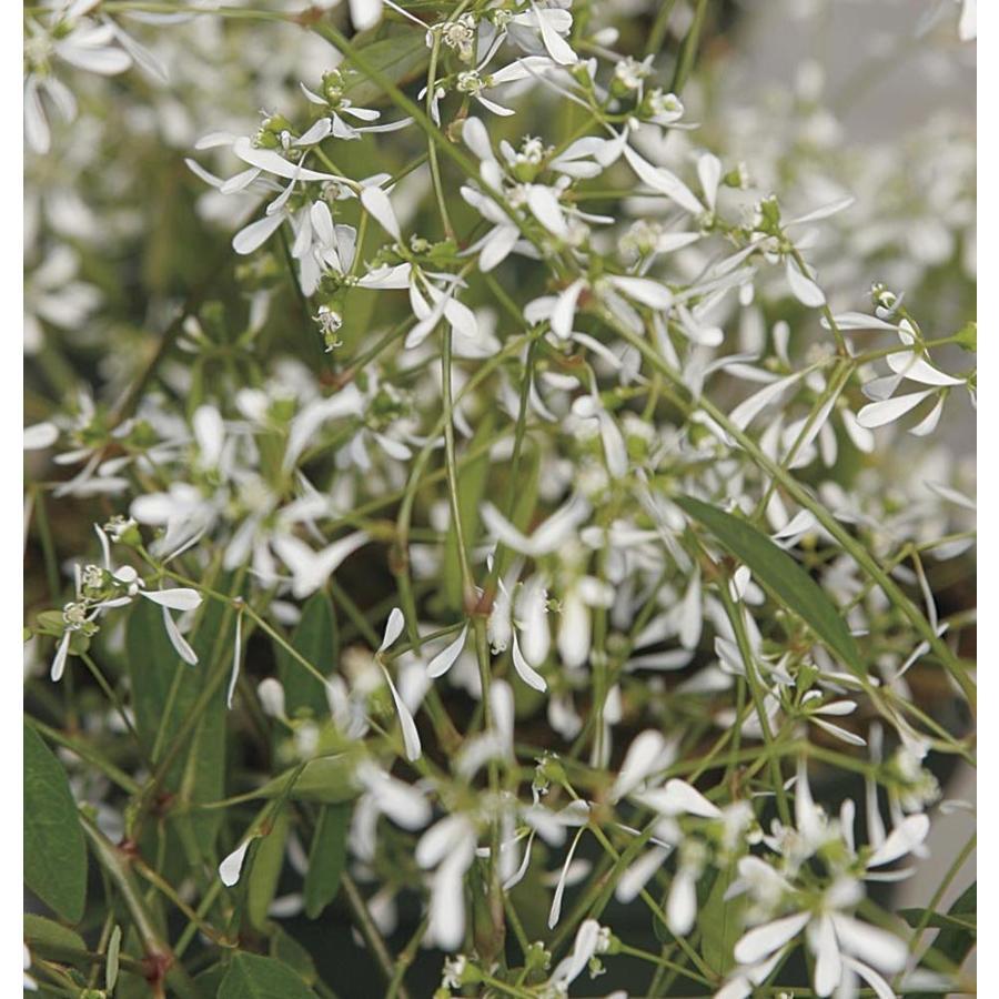 Monrovia 1-Quart Euphorbia (L21947)