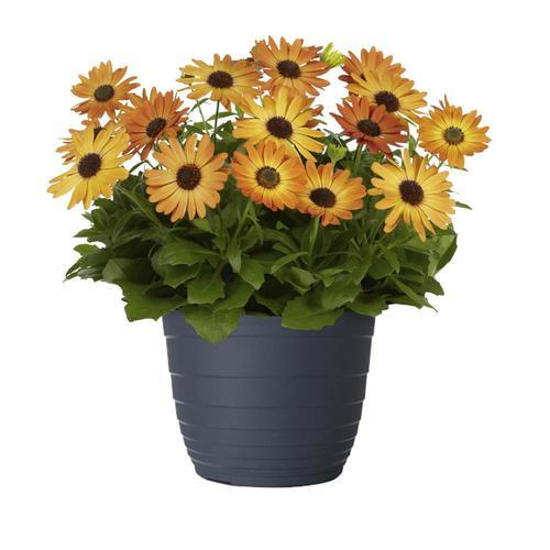 Jardini In A 75 Gallon: 1.75-Gallon Multicolor African Daisy In Planter (L11796