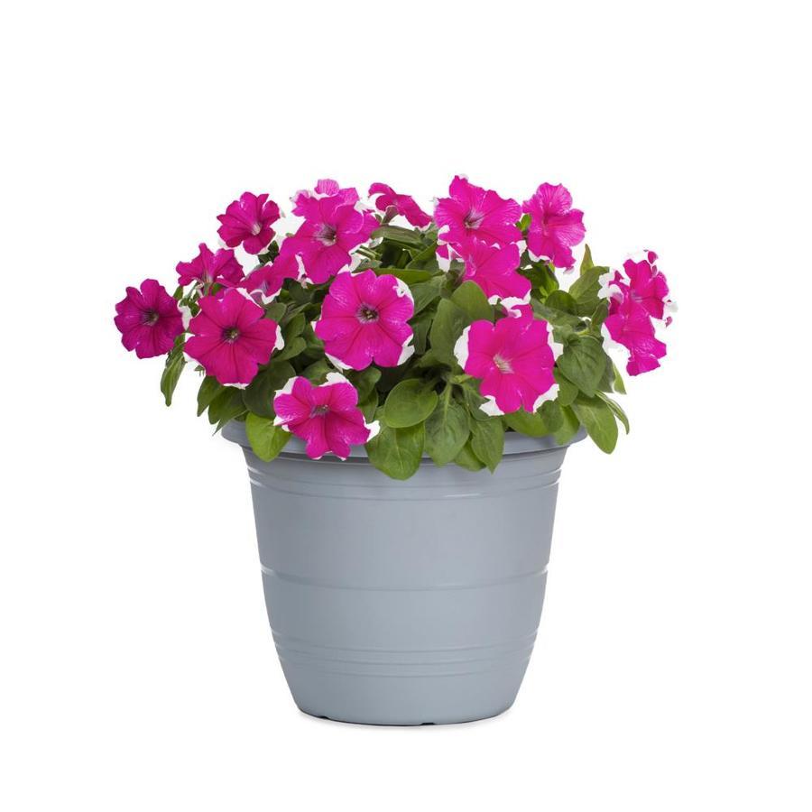 1-Gallon Petunia (L17355)