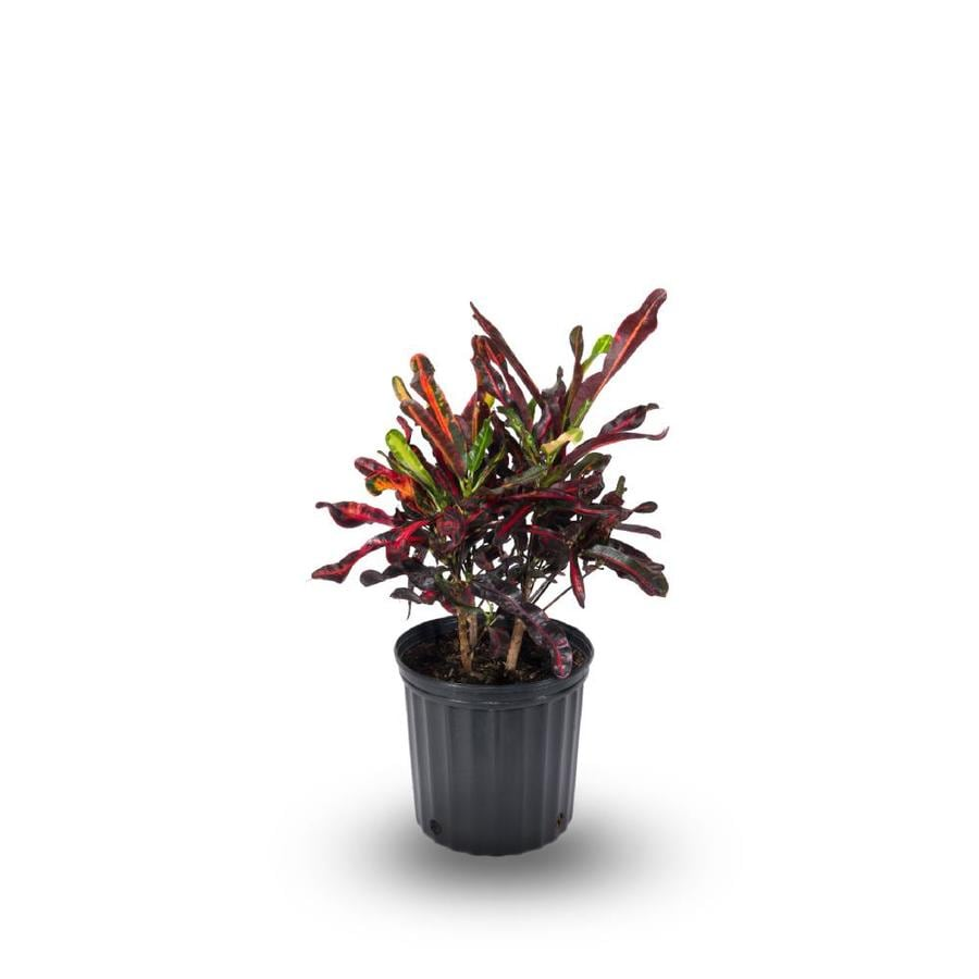 1.5-Gallon Croton (L5448)