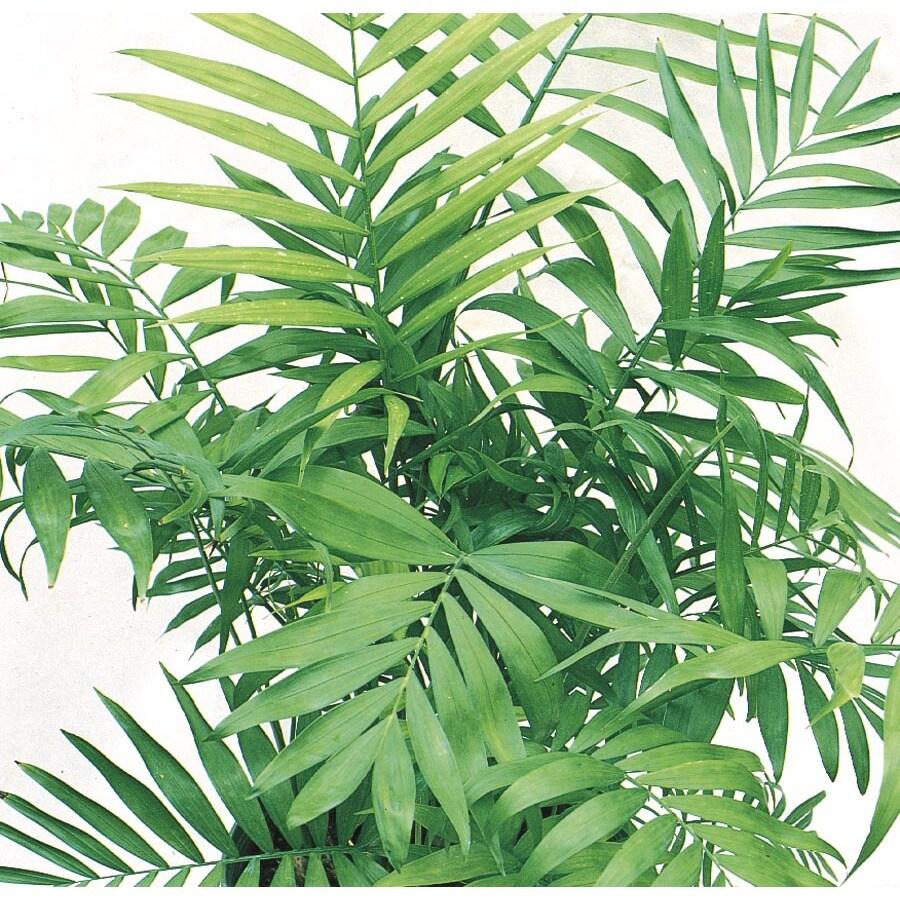 15-oz Neanthe Bella Palm (L9791HP)