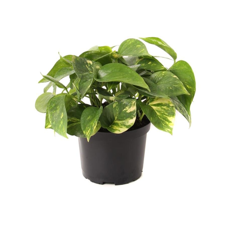 1.4-Quart Golden Pothos (LTL0077)