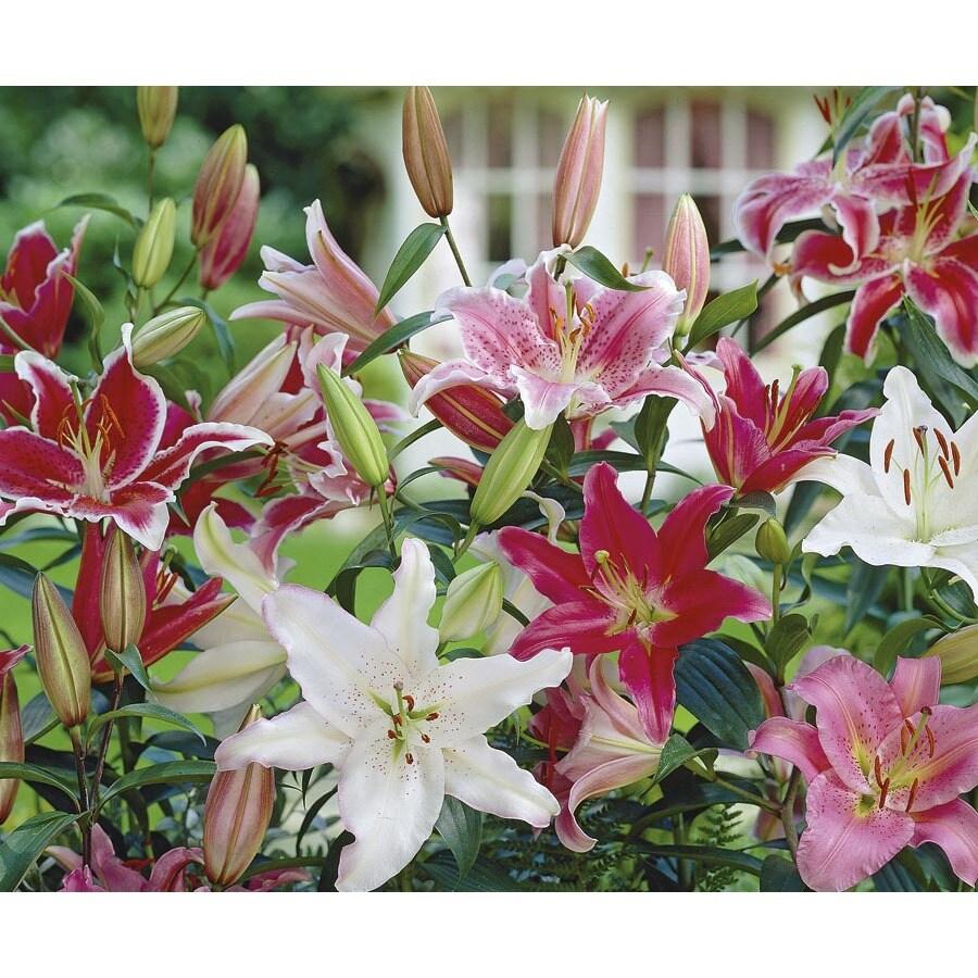 Monrovia 1-Gallon Oriental Lily (L5754)