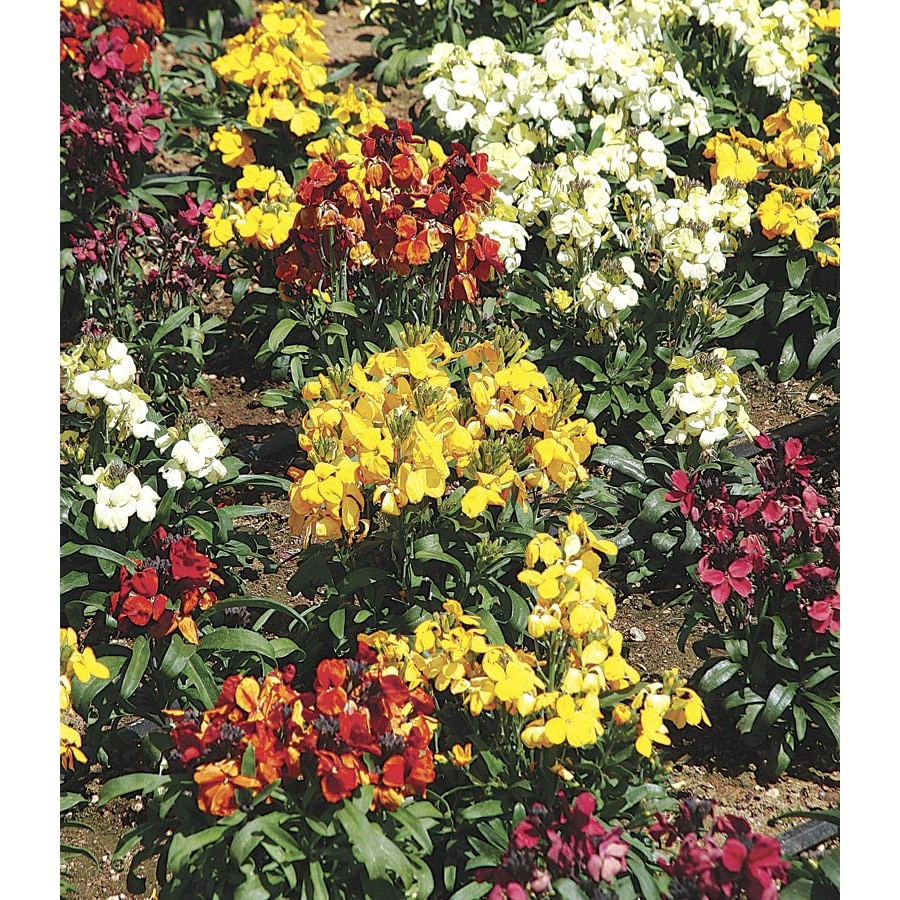 3-Quart Wallflower (Lw04008)