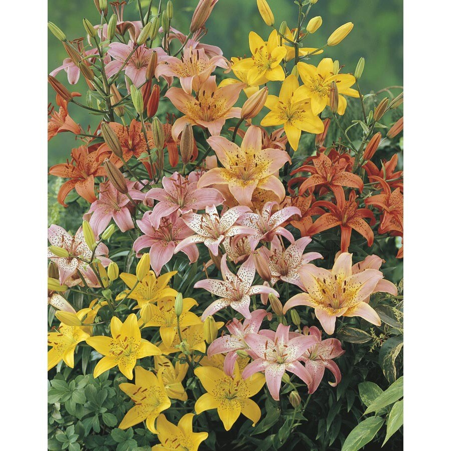 3-Quart Aloha Shades Of Summer Lily (L24818)