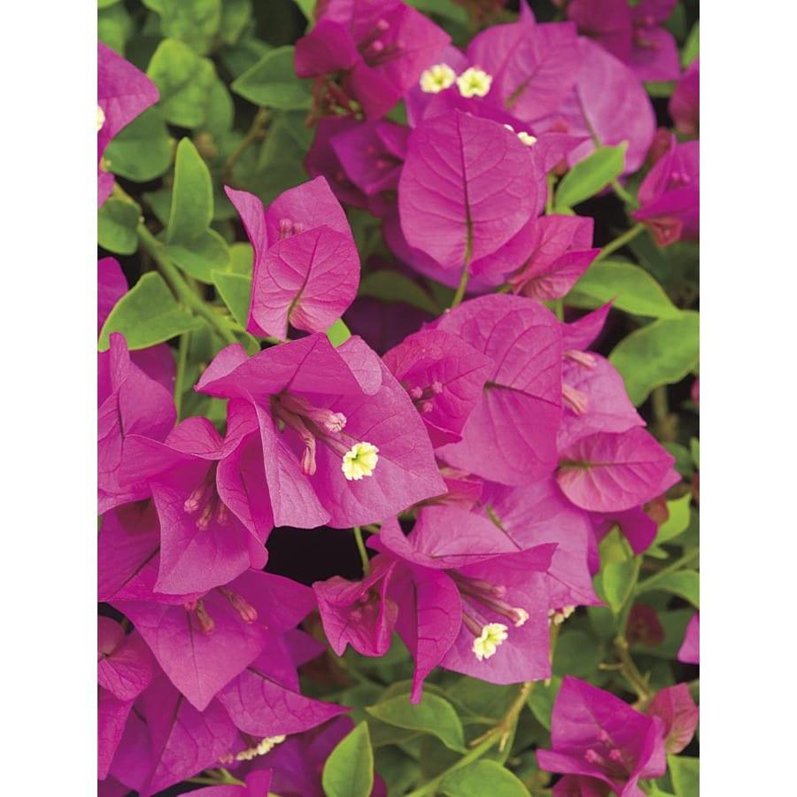 1.25-Gallon Mixed Shades of Summer Bougainvillea Flowering Shrub (L24792)
