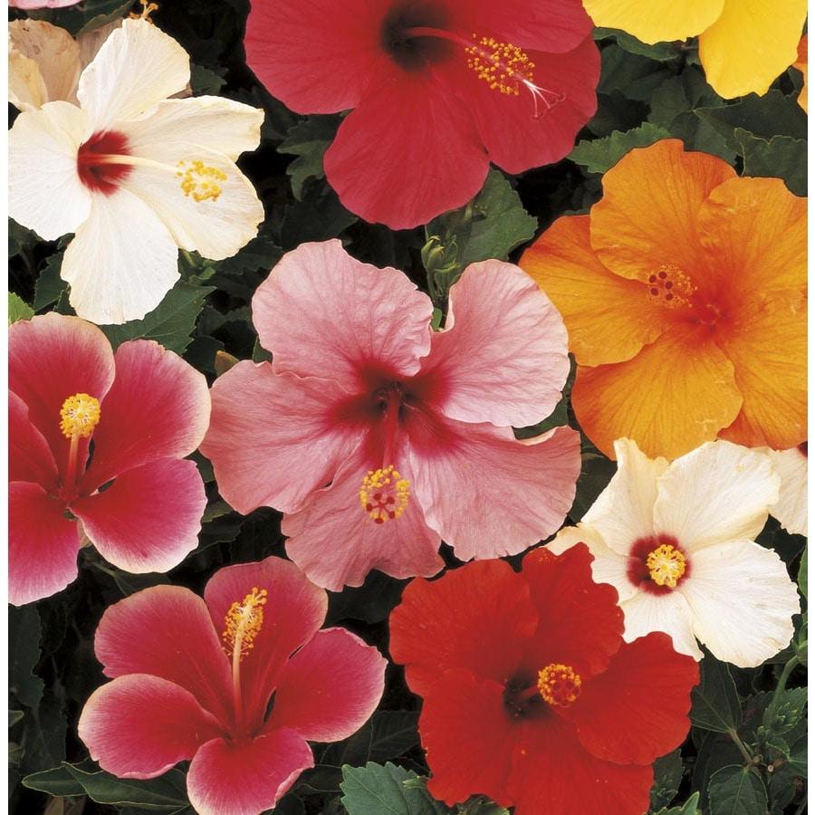 3-Quart Mixed Tradewinds Hibiscus Flowering Shrub (L0177)