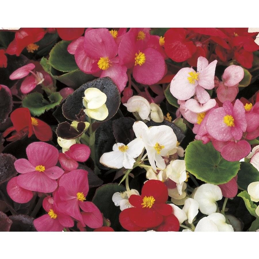 2-Gallon Begonia (L6589)