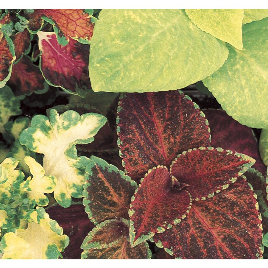 1-Gallon Coleus (L2567)