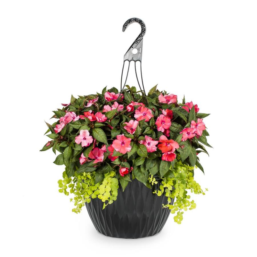 2-Gallon Sunpatiens (L21670)