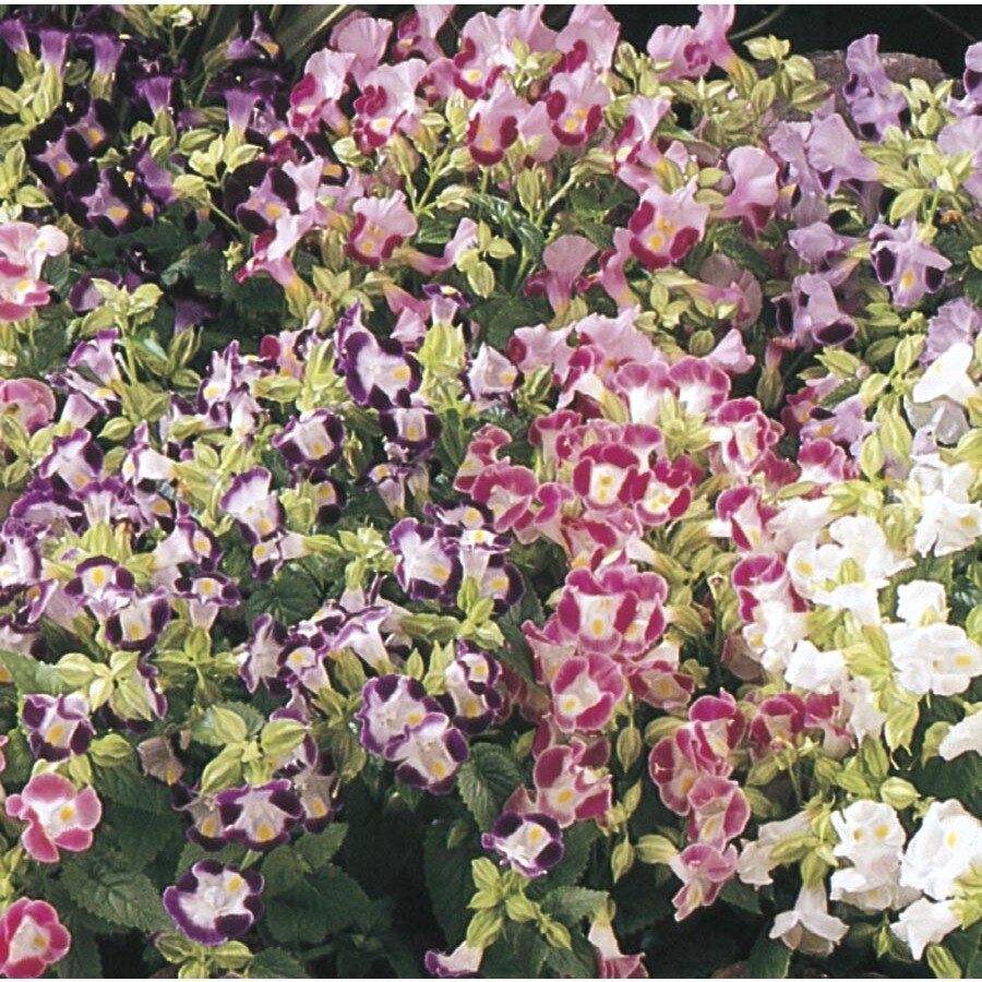 2-Gallon Torenia (L9964)