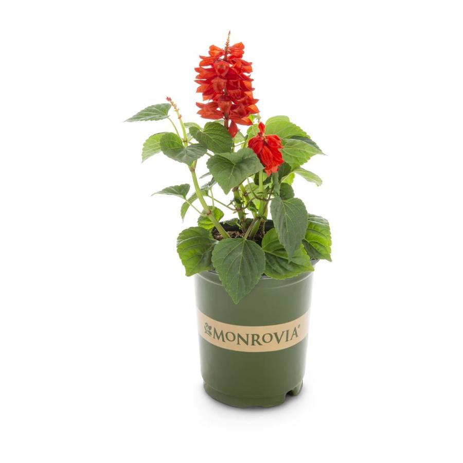 Monrovia 1-Quart Salvia (L17608)