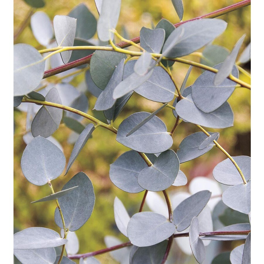 Monrovia 1-Pint Eucalyptus (L23519)
