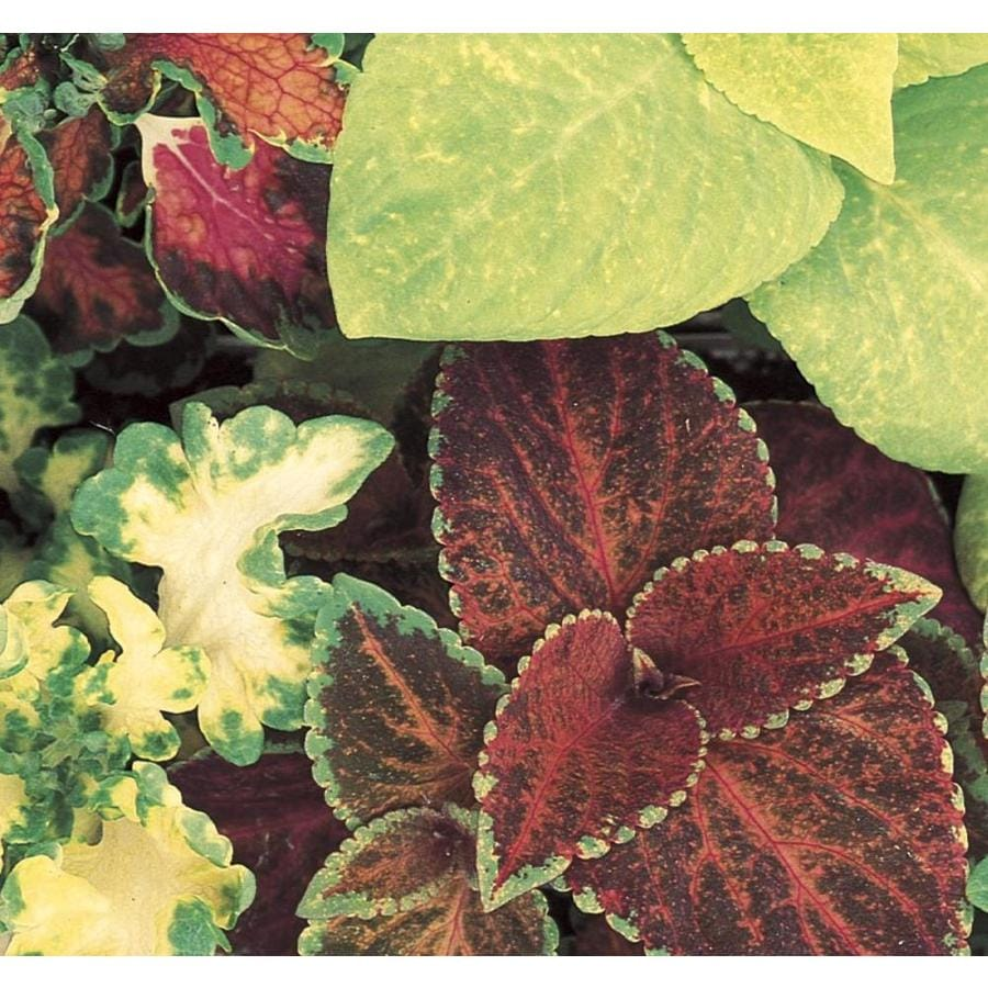 1.5-Gallon Coleus (L2567)