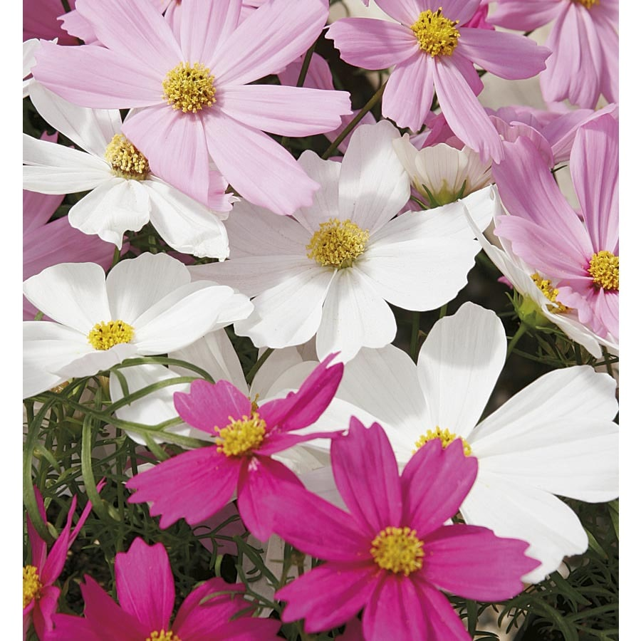 1.5-Gallon Cosmos (LBP001)