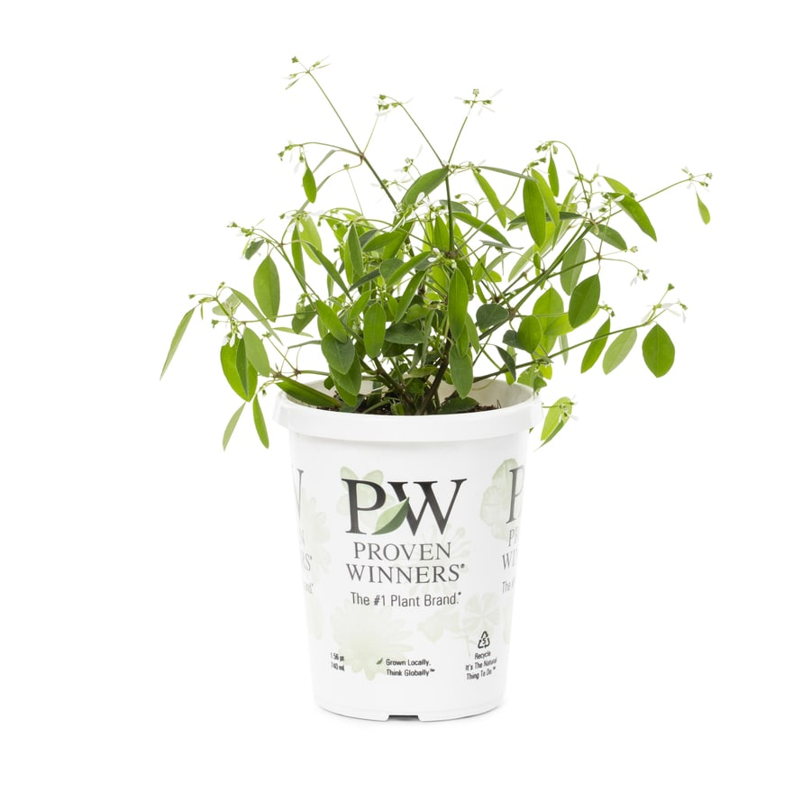 1-Pint Euphorbia (L21947)