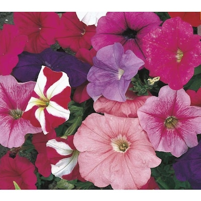12 Pack Multicolor Petunia In Tray L17355 At Lowes Com