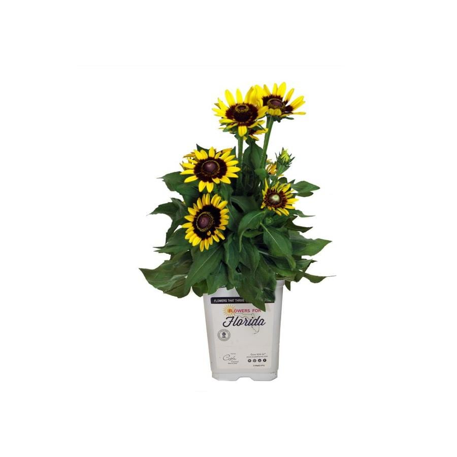 2.5-Quart Black Eyed Susan (L21695)