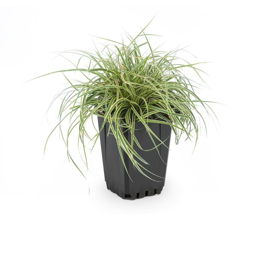 1-Quart Leather Leaf Sedge (L11192)
