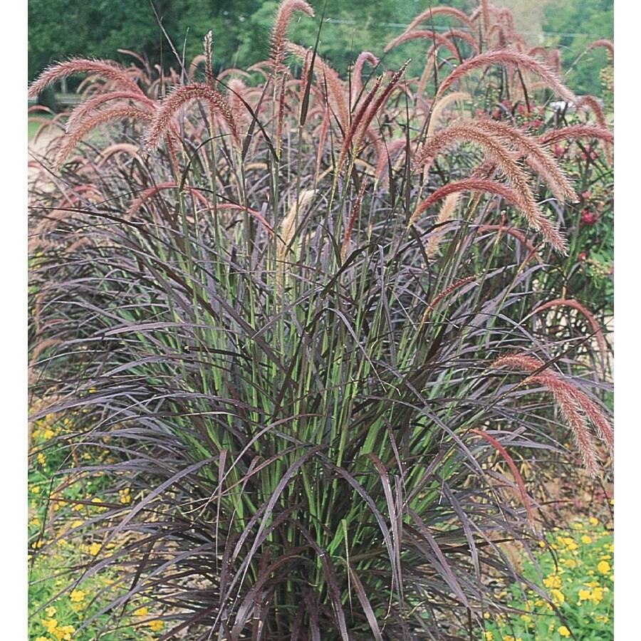 3-Gallon Purple Fountain Grass (L8564)