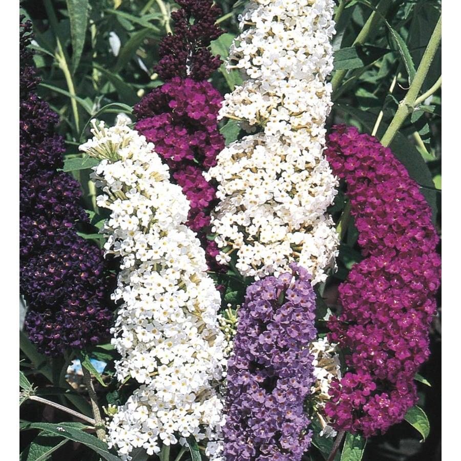 3-Gallon Mixed Butterfly Bush Flowering Shrub (L8073)