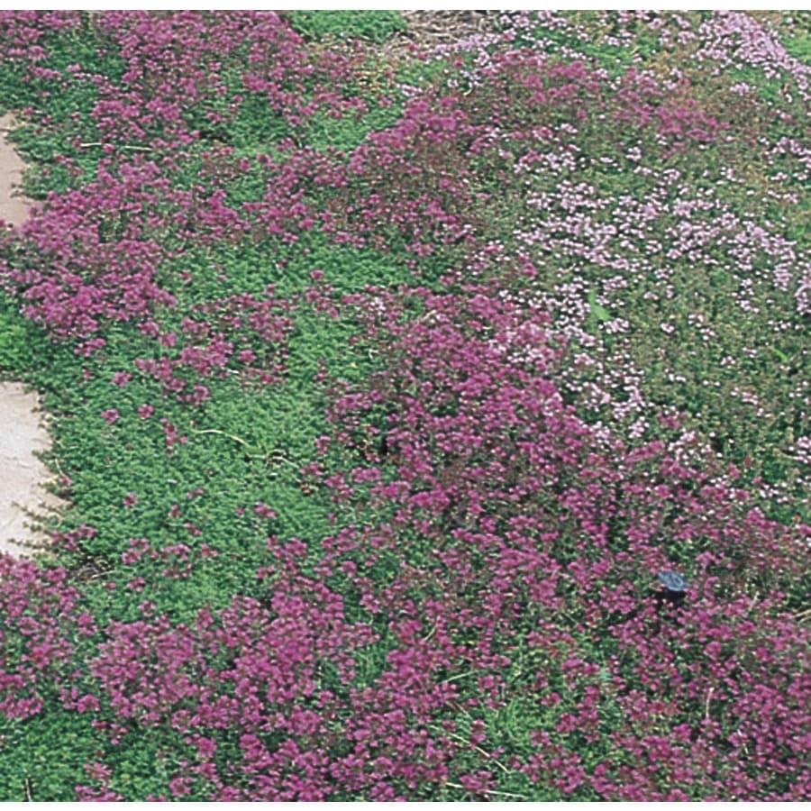 9-Pack Creeping Thyme Tray (L2902)