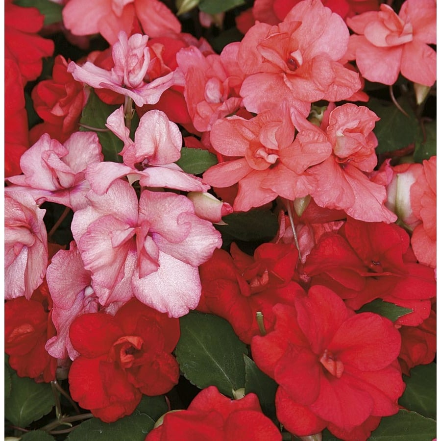 1.5-Gallon Double Impatiens (L9882)
