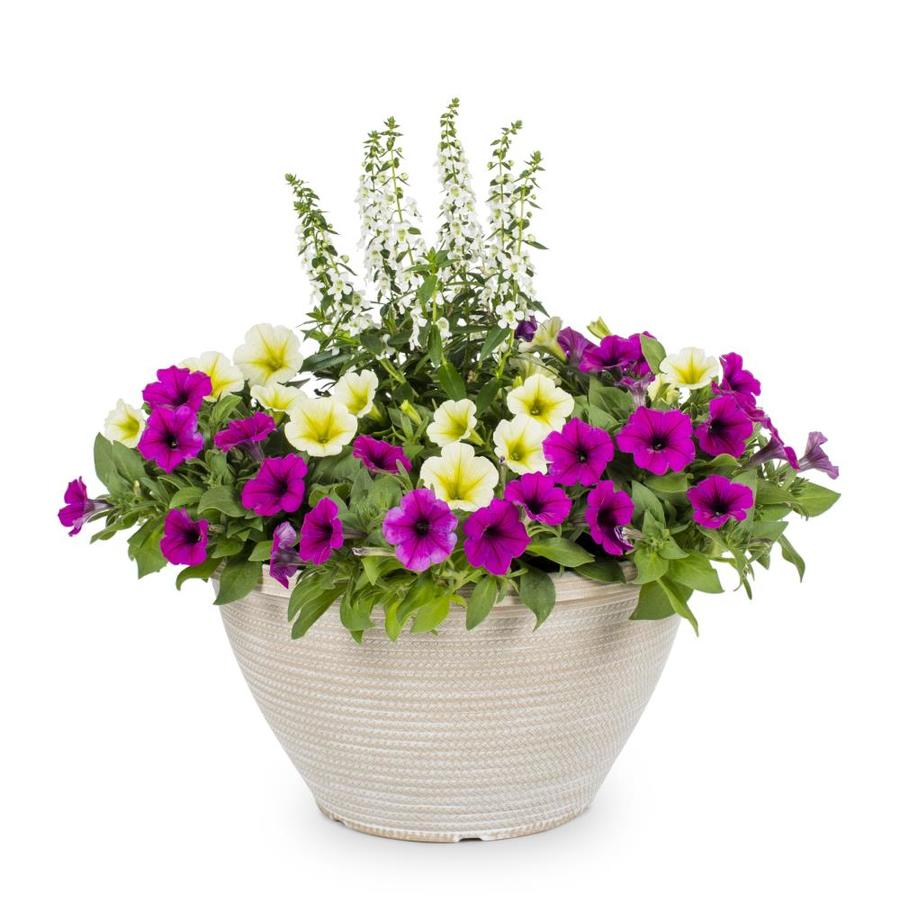 1.5-Gallon Alyssum (L15021)