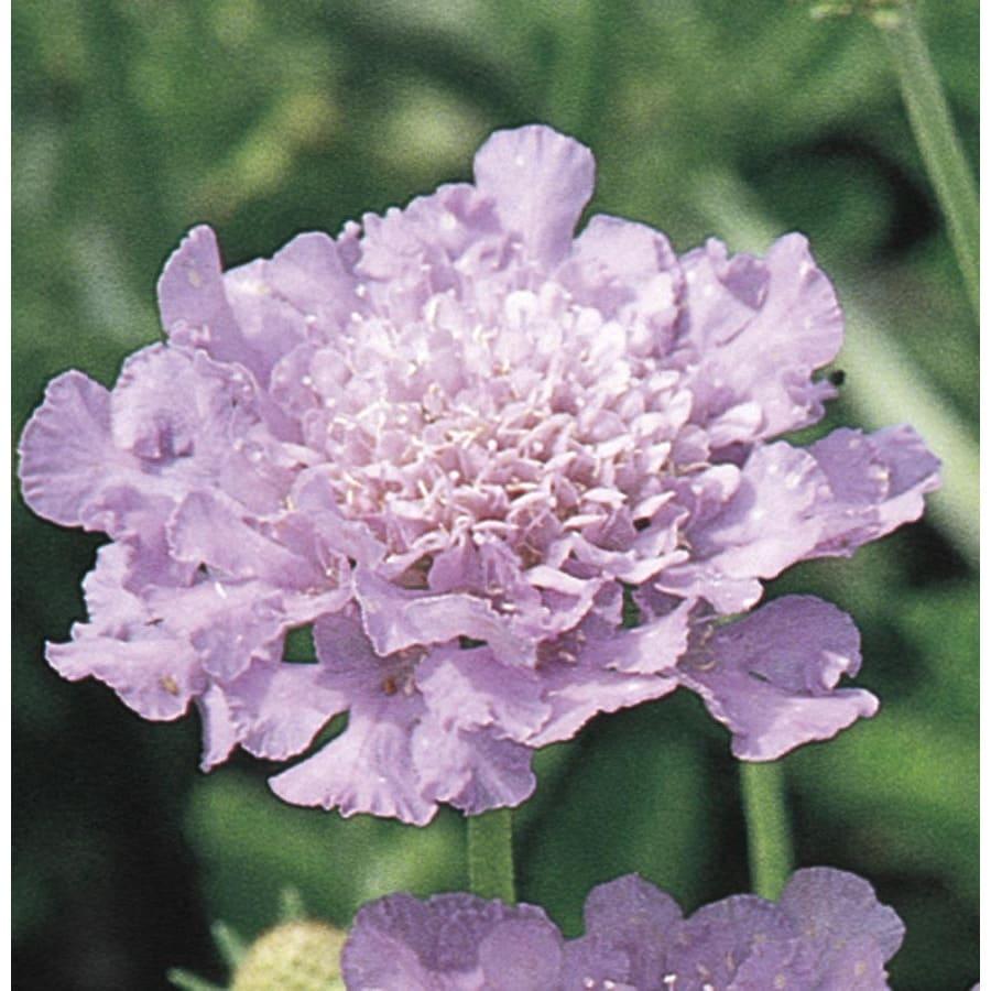 2.5-Quart Pincushion Flower (L7659)