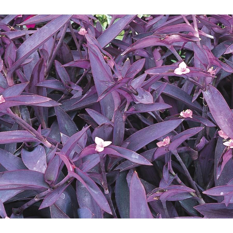 Shop 25 quart pot purple queen l9175 at lowes 25 quart pot purple queen l9175 izmirmasajfo
