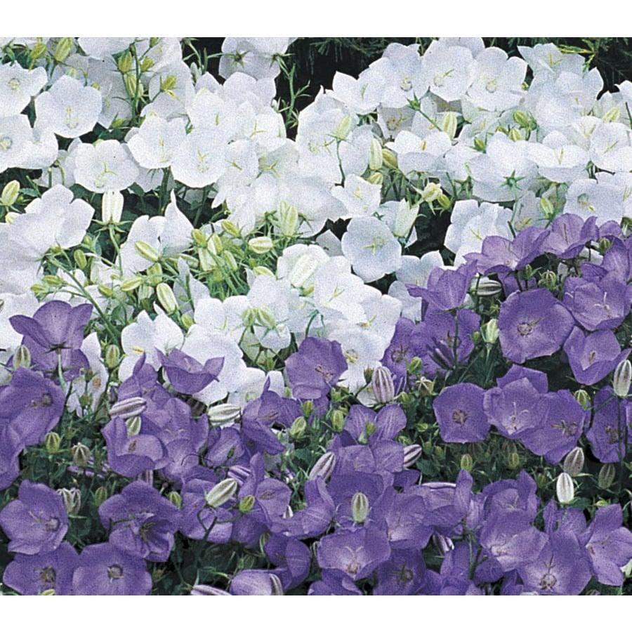 6 Pack Carpathian Bellflower (Lw02437)
