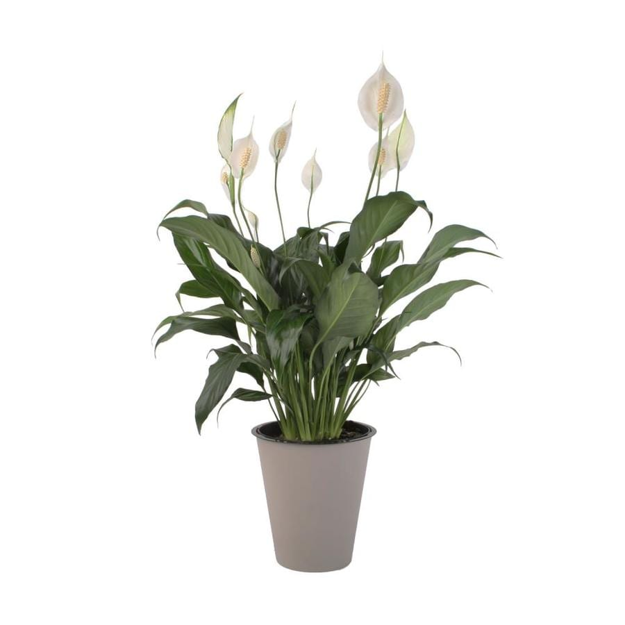 Waterwick Peace Lily (L2977HP)