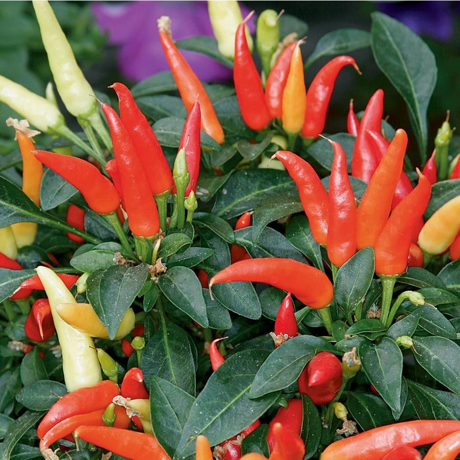 1-Gallon Ornamental Pepper (L9728)