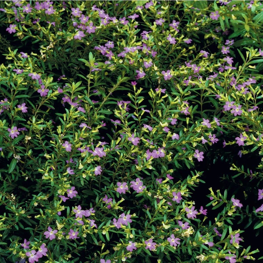 1.65-Gallon Mexican Heather (L7071)