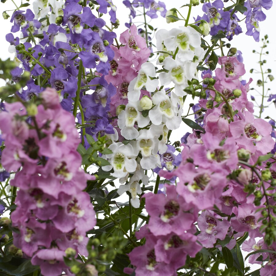 1.65-Gallon Angelonia (L10016)