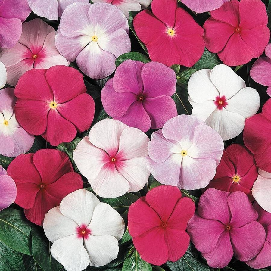 Shop 6 Pack Multicolor Cora Vinca In Tray L03028 At Lowes
