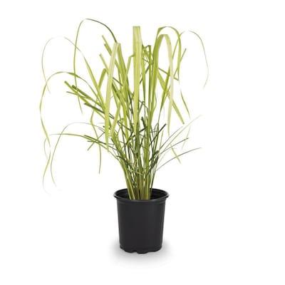 2 5-Quart in Pot Lemon Grass (L15398) at Lowes com