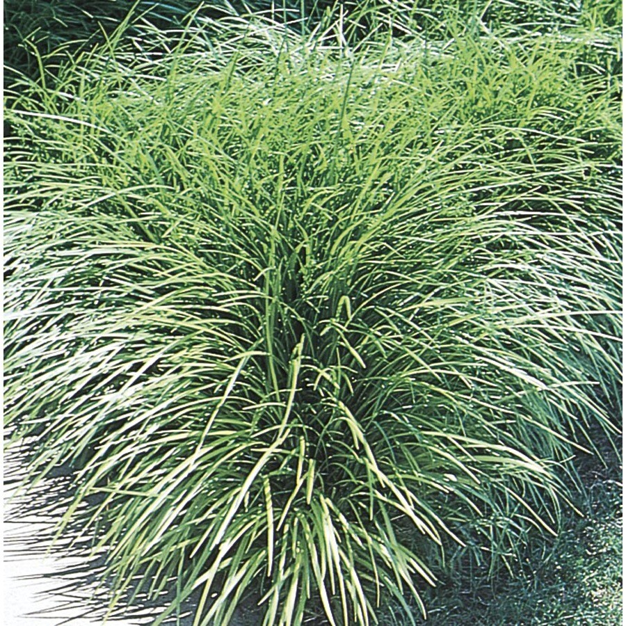 1.76-Gallon Mondo Grass (L4050)