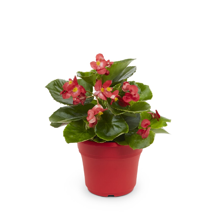 3-Quart Temporary Begonia (L6589)