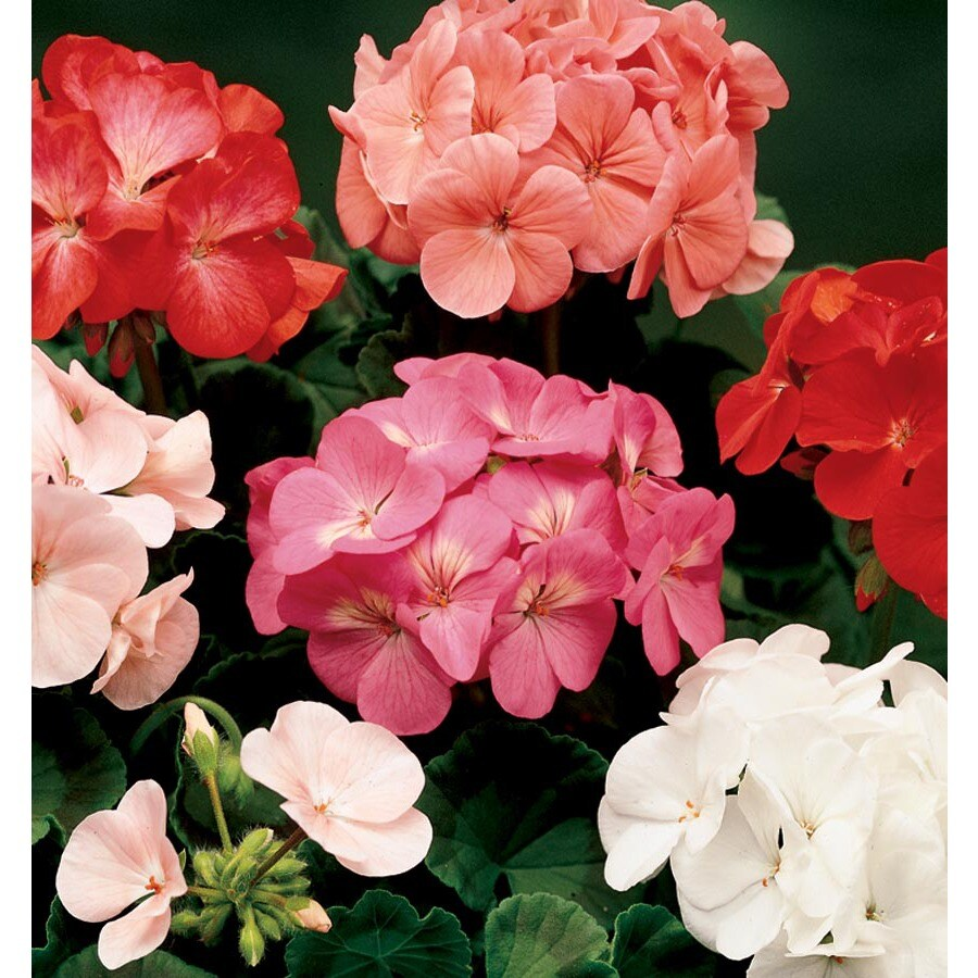 1.5-Gallon Pillar Geranium (L21730)