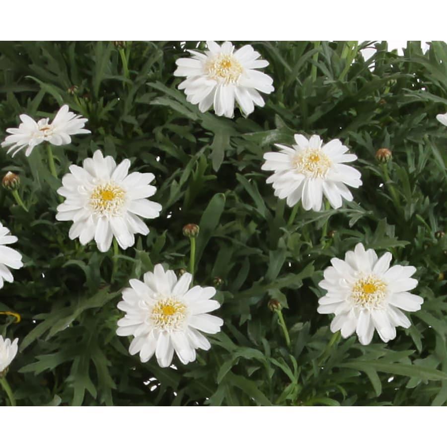 Monrovia 2-Quart Argyranthemum