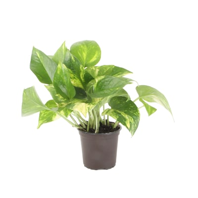 Exotic Angel Plants 10 Oz No Flowers Pothos In Plastic Pot L4925