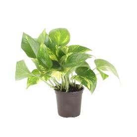 Exotic Angel Plants 10-oz Pothos in Plastic Pot (L4925)