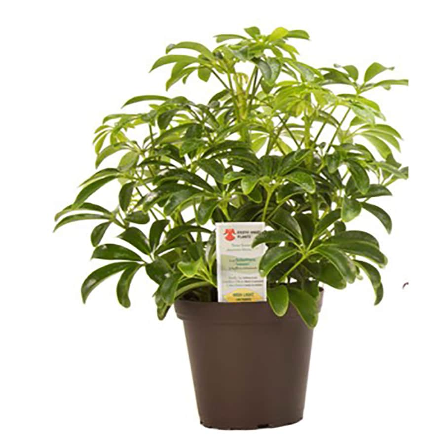 Exotic Angel Plants 15 Oz Tropical In Plastic Pot